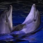 Два дельфина в бассейне